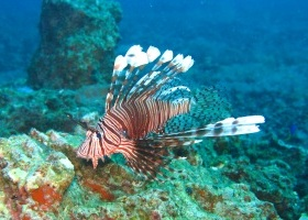 lionfish at Malapascua: Iain Crampton