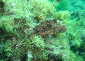 scorpion fish, Marfa point: Teresa Murphy
